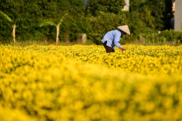 Cúc 'tiến vua' vàng rực cánh đồng ở Hưng Yên