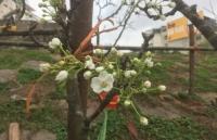 Sau Tết, hoa lê rừng hút khách sành chơi