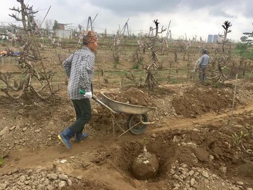 Người dân Nhật Tân tất bật trồng lại đào sau Tết