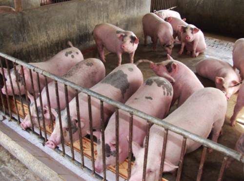 Triển khai công tác ngăn chặn và ứng phó với bệnh dịch tả lợn Châu Phi