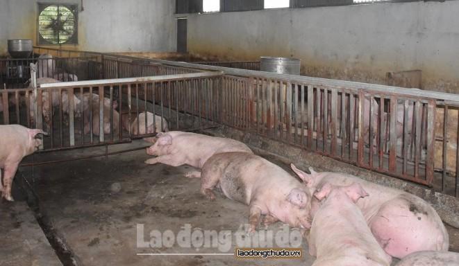 Hà Nội: 11,5% tổng đàn lợn mắc bệnh dịch tả lợn châu Phi