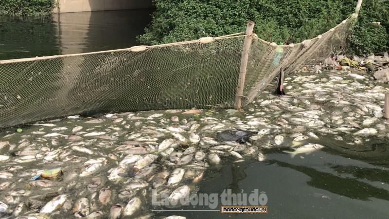 Cá chết trắng hồ tại hồ điều hòa Yên Sở