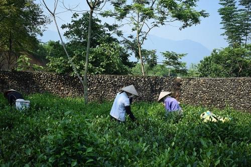 Hợp tác xã Thanh Bình: Hiệu quả từ mô hình chè sạch