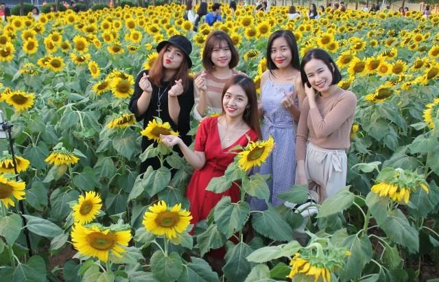 Cánh đồng hoa hướng dương đẹp rực rỡ ở Hà Nội