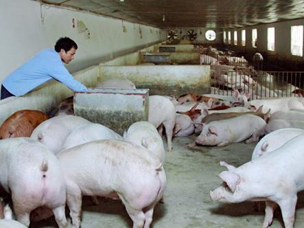Giá lợn hơi giảm kỷ lục: Nông dân khóc ròng, người tiêu dùng chịu thiệt