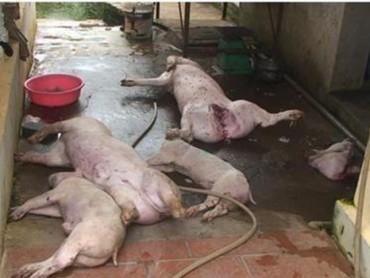 Bắt quả tang sơ chế 5 con lợn chết bốc mùi