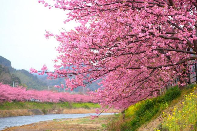 'Lạc trôi' giữa màu hồng của ngàn cây anh đào nở rợp trời
