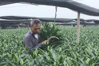 Hoa ly bung nở trước Tết, nông dân Tây Tựu thấp thỏm lo lắng