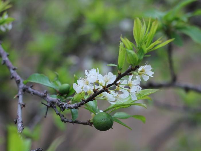 Cuối tuần hẹn hò cùng hoa mận trên thung lũng Nà Ka Mộc Châu