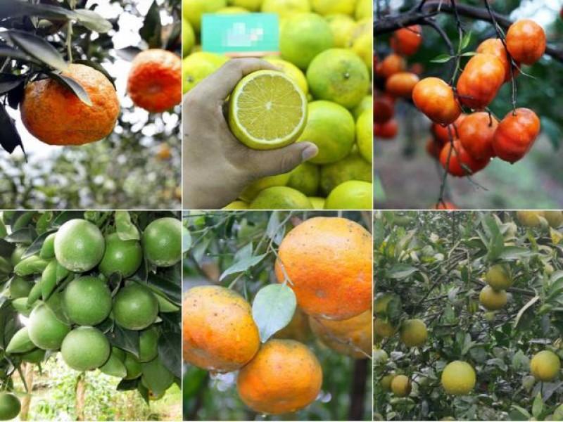 Top 8 loại cam ngon nhất đất Việt