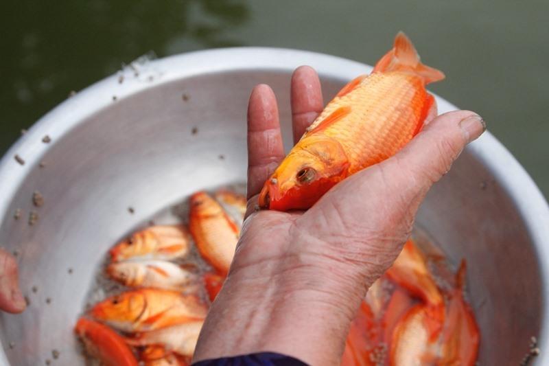 Nên dùng cá thật hay cá chép giấy cúng ông Công ông Táo?