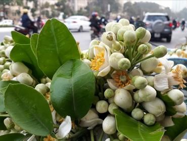 Hoa bưởi loại 1 giá chát 300 nghìn/cân vẫn hút khách Hà Nội 'xuống' tiền