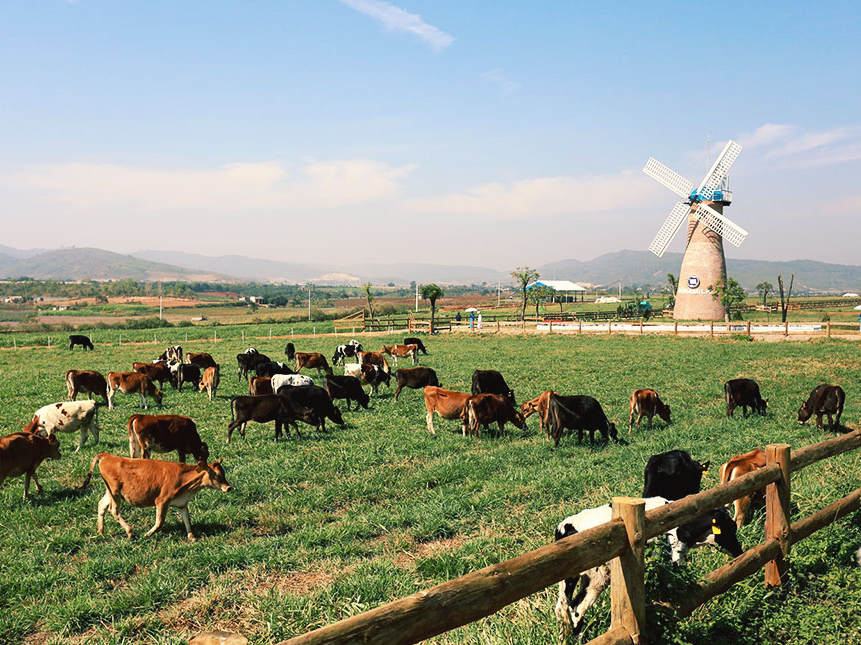 Trang trại bò sữa Organic đầu tiên tại Việt Nam