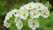 Kì diệu loài hoa biến thành thủy tinh khi gặp trời mưa
