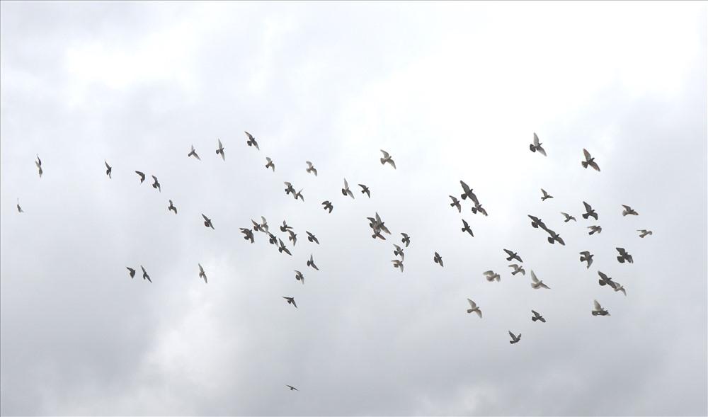 bac ninh tha 2000 chim bo cau trong dip le 304 15