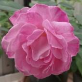 Tiết lộ bí mật di truyền của hoa hồng