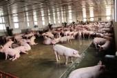 Giá thịt lợn tăng mạnh: Mừng ít lo nhiều?
