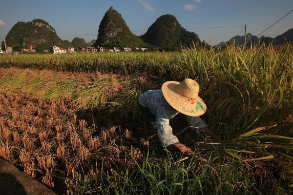 Biến đổi khí hậu đang dần khiến lúa gạo mất đi dưỡng chất