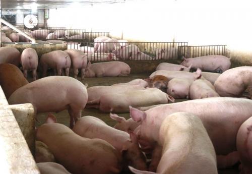 Không kìm nổi giá tăng mạnh, Bộ quyết nhập lợn sống về giết mổ