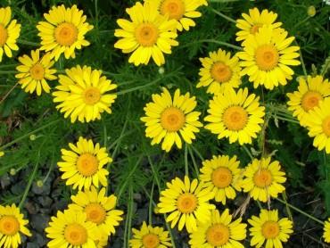 Những bông cúc vàng