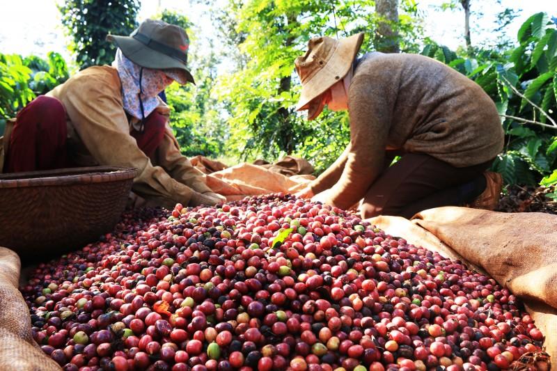 Việt Nam đặt mục tiêu xuất khẩu cà phê đạt 6 tỉ USD