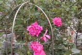 Người sở hữu trên 20.000 gốc hoa hồng quý hiếm tại Hà Nội