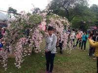 Ngắm hoa anh đào giữa lòng Hà Nội