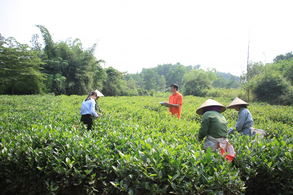Chè VietGAP và chè hữu cơ: Hướng đi mới cho cây chè tại Thái Nguyên