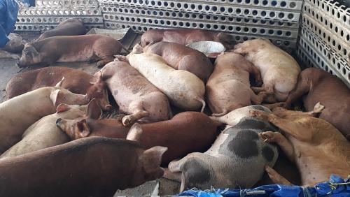 Cấp bách khống chế Dịch tả lợn châu Phi