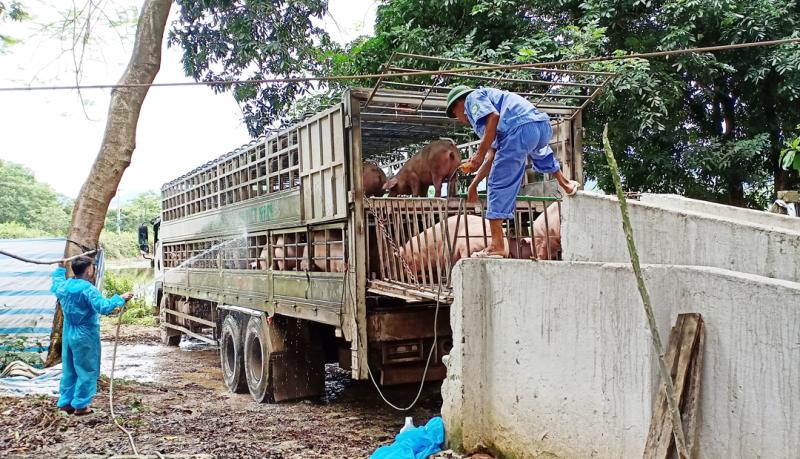 Trại chăn nuôi lợn gây ô nhiễm ở huyện Thạch Thất: Ủy ban nhân dân huyện chỉ đạo xử lý