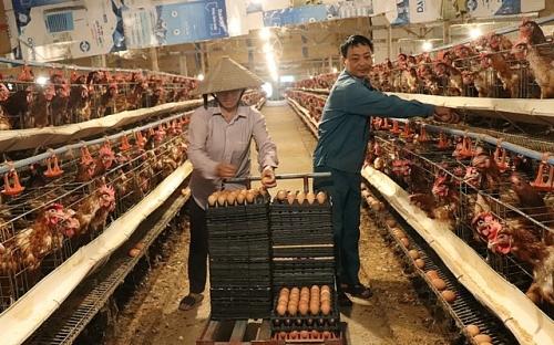 Hiệu quả kinh tế từ mô hình nuôi gà đẻ trứng