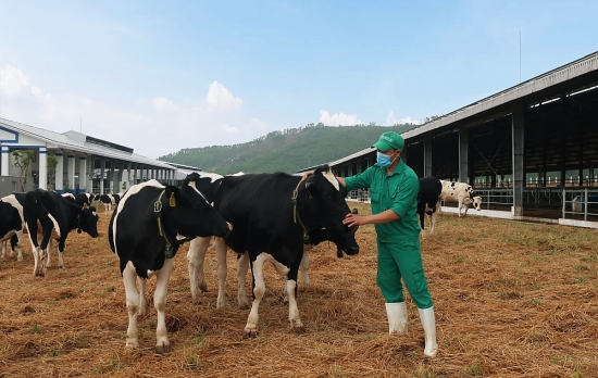 Vinamilk đón thành công 2.100 cô bò sữa từ Mỹ về trang trại mới tại Quảng Ngãi