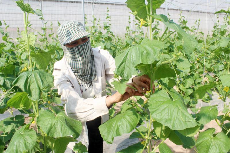 Hà Nội mở rộng thêm diện tích sản xuất rau an toàn