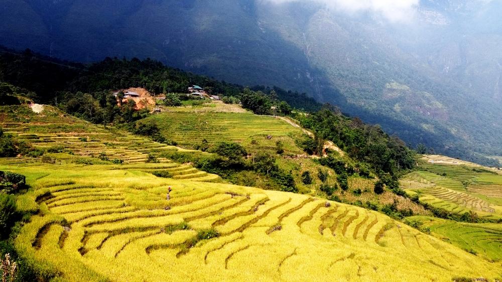 Đẹp thơ mộng mùa lúa chín trên những thửa ruộng bậc thang tại huyện Bát Xát
